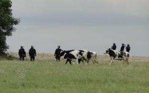 Les vaches vs. la police.
